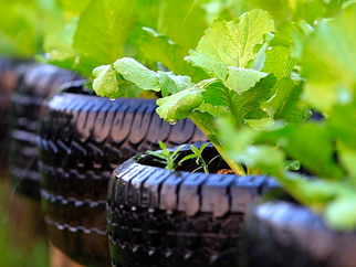 Green plants growing from pots made of car tyres.
