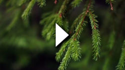 A spruce branch with a video play symbol on top.