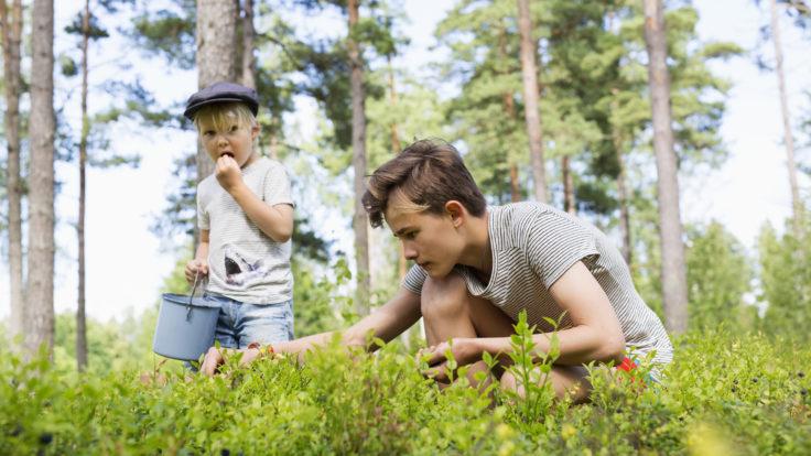 Children picking bilberries in the forest