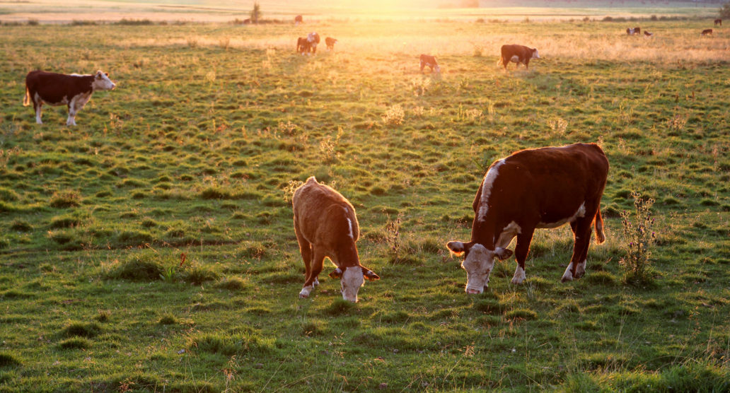 A picture of cattle in a field.