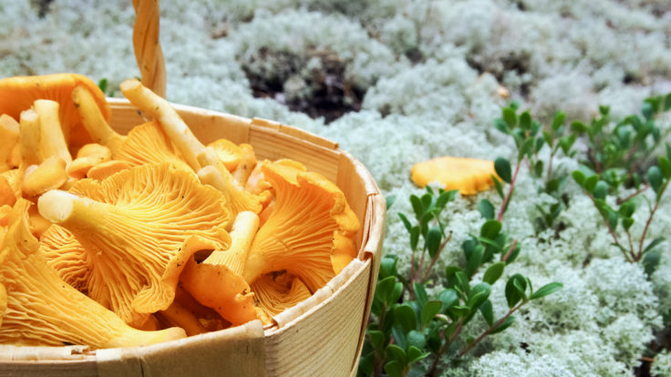 Chanterelles in a wooden basket on a mossy ground.